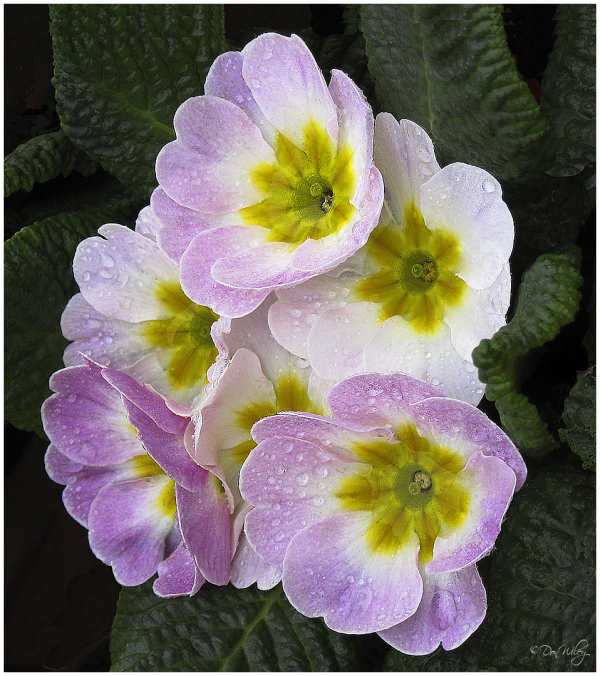 Primrose at a local nursery.