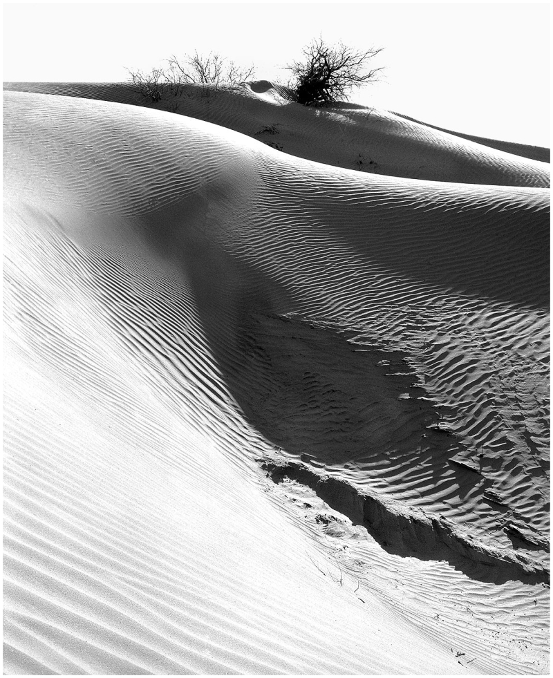 Dune Bush