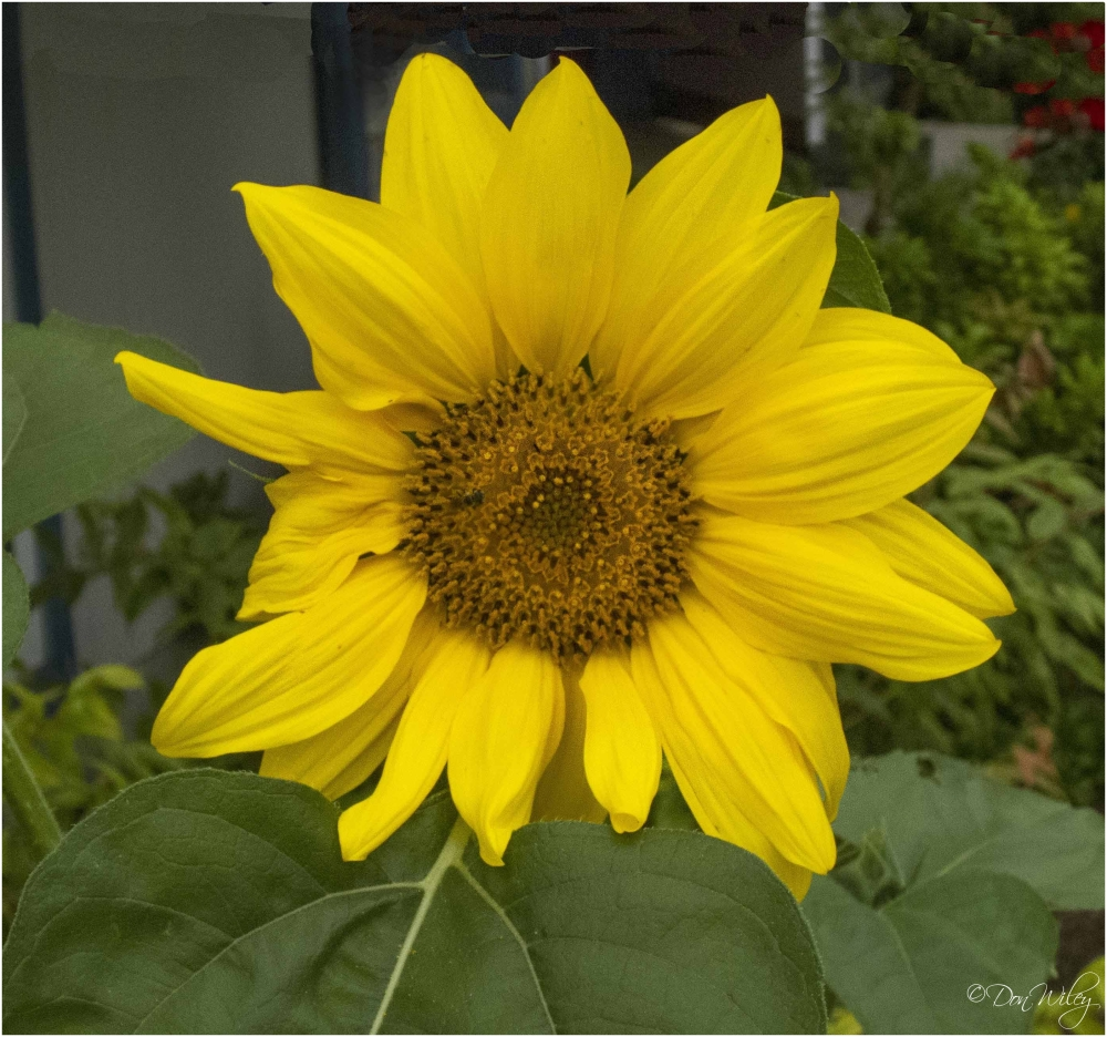 Paula's Sunflower