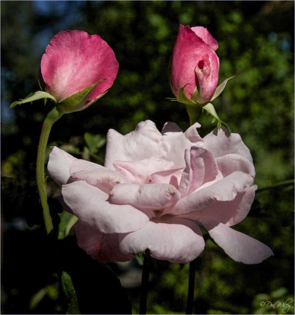 Yesterday's Rose Buds