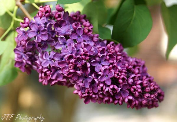 purple, flower, spring, nature