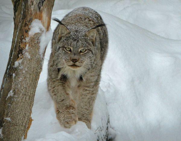 Lynx du Canada