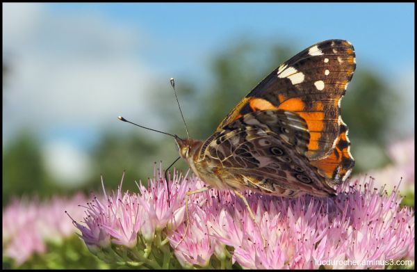 Belle Dame - Vanessa cardui - Painted Lady
