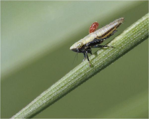 Cicadelle et parasite