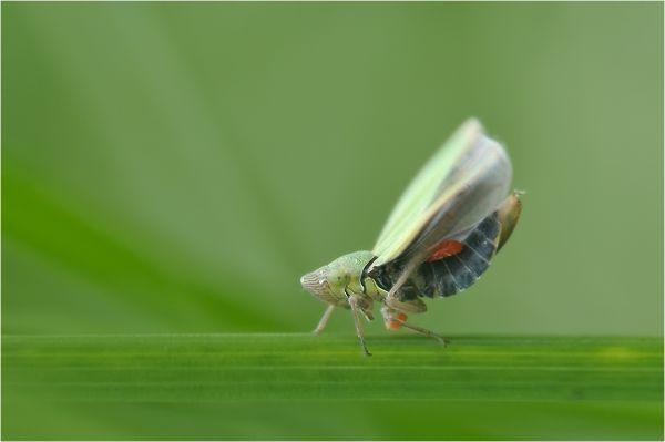 Cicadelle parasitée