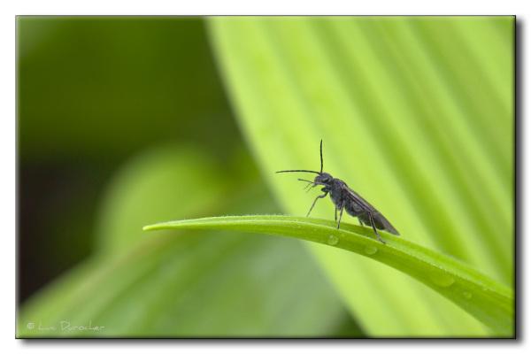 Insecte sur Vératre blanc (Veratrum album)