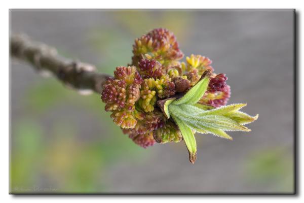 Fleurs de Frêne