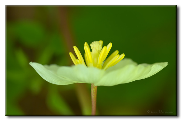 Podophylle pelté