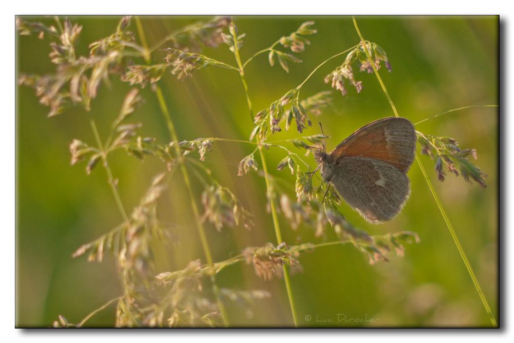 Satyre fauve - Coenonympha inornata inornata