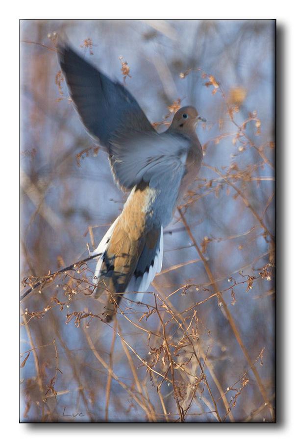 Tourterelle triste - Mourning Dove - Zenaida macro