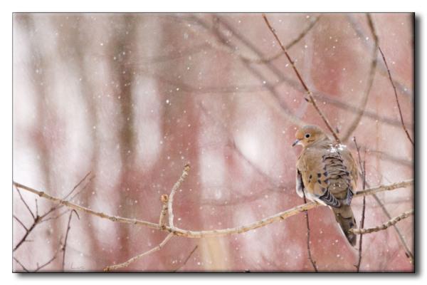 Tourterelle triste - Mourning Dove - Zenaida