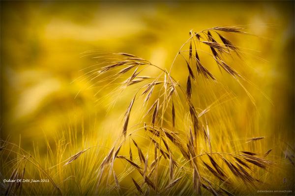 Dans les blés .....