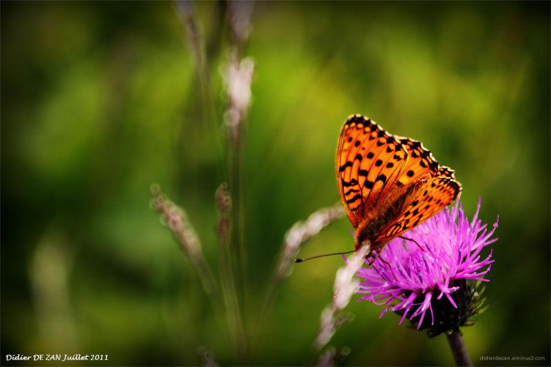 Papillon .....