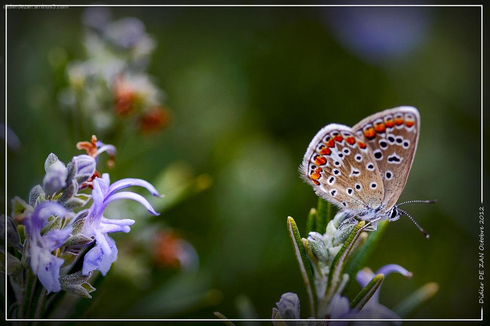Papillon.....