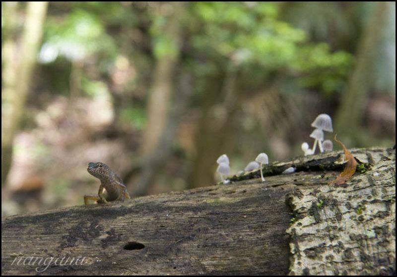 rainforest skink Lamington National Park
