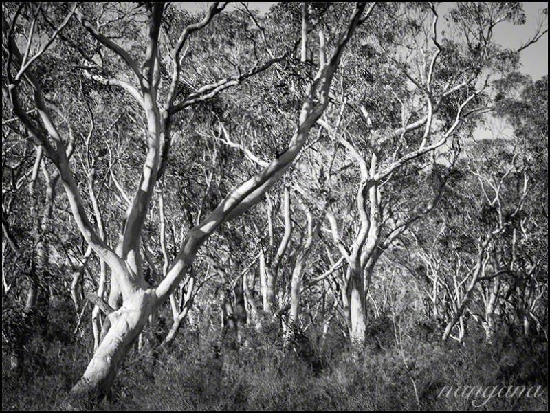 Gum trees landscape rural photos nangana for Garden design under gum trees