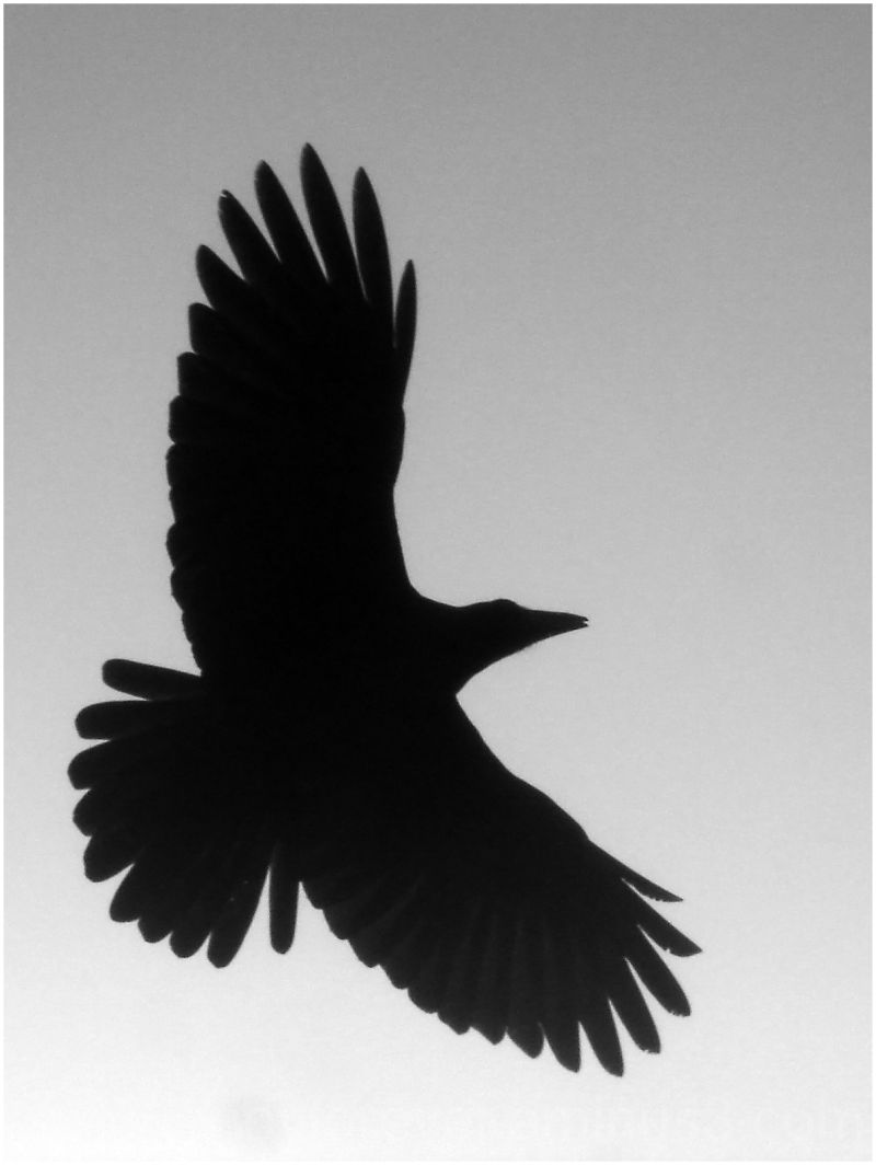 flying crow blackCrow Flying Away Drawing