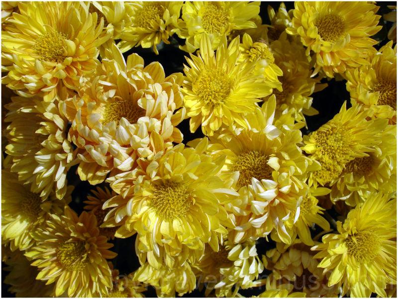 Chrysanthemums flowers yellow