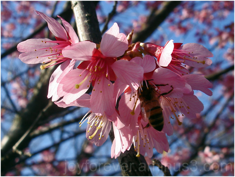 Cherry blossom pink spring bee flower