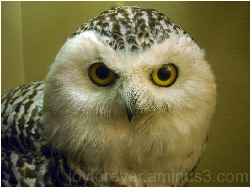 snowy owl bird museum