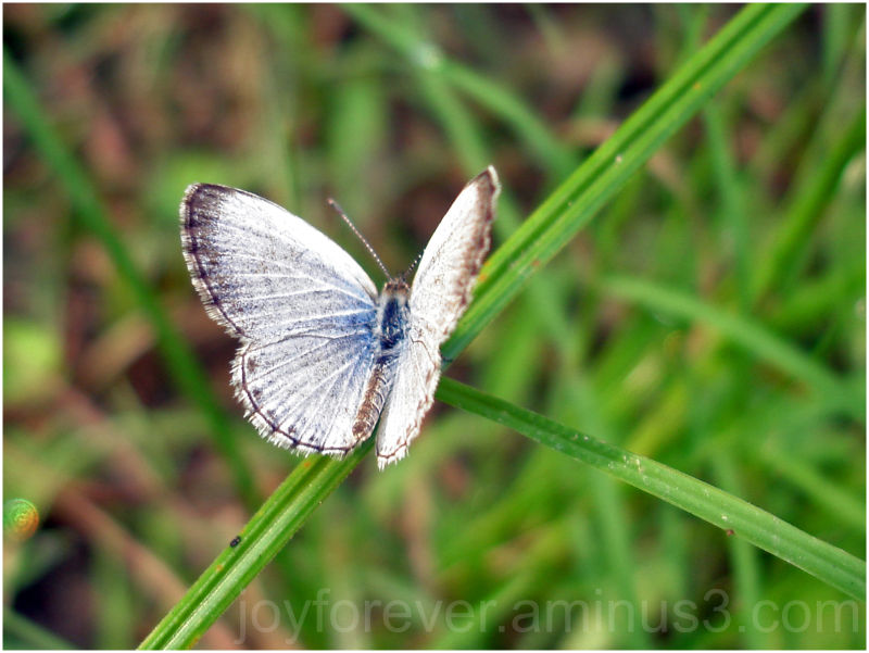 butterfly insect grass macro lepidoptera