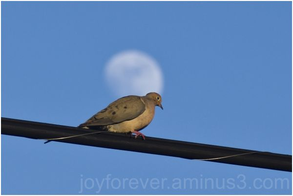 dove moon telephoto bird sky blur