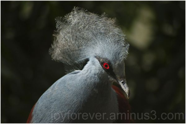 bird western-crowned-pigeon washington-DC-zoo