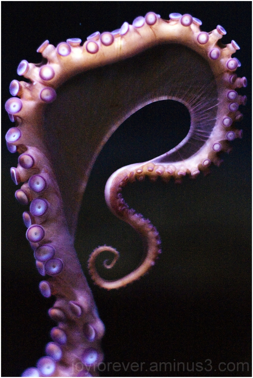 octopus giant pacific tentacle aquarium water