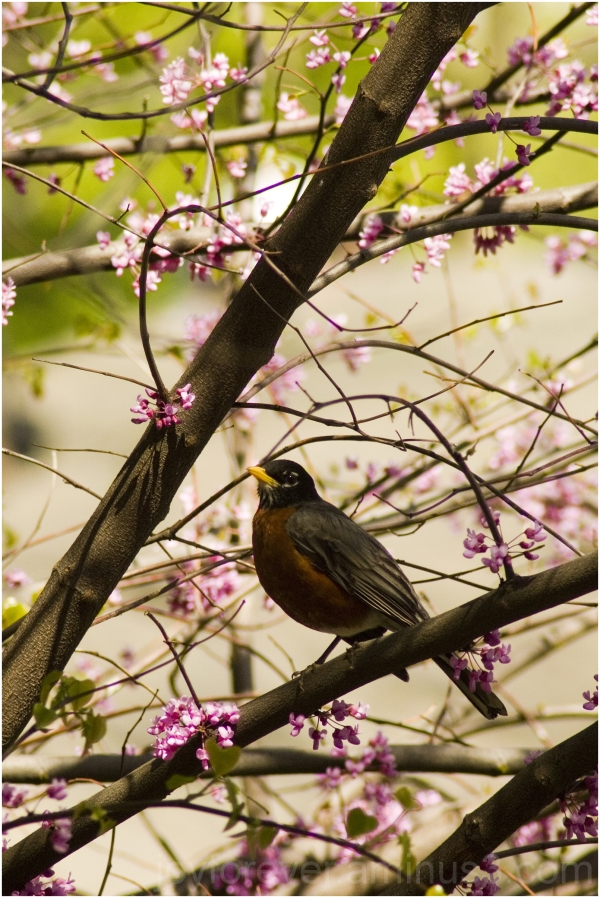 bird robin flower pink blossom Central-Park plant