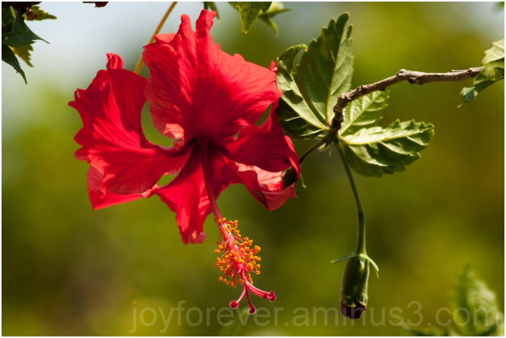 hibiscus plant flower red Hooghly India