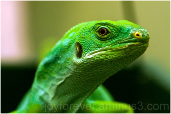 green lizard iguana reptile animal zoo DC