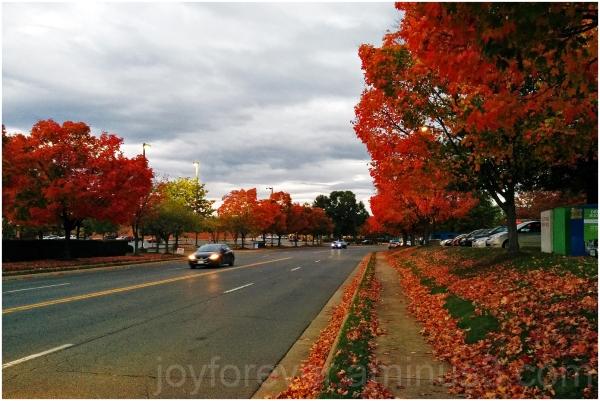 Fall foliage color trees maple Chantilly VA road