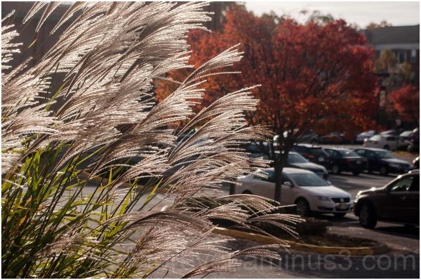 Fairfax Virginia plants fall tree old-town