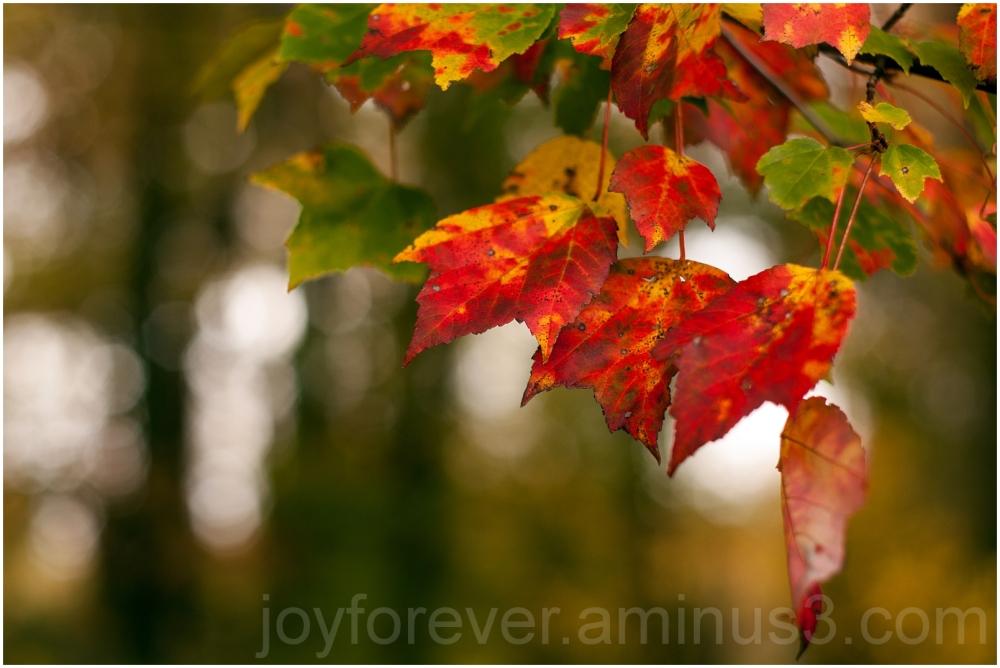 fall foliage color tree leaf red falls-church VA