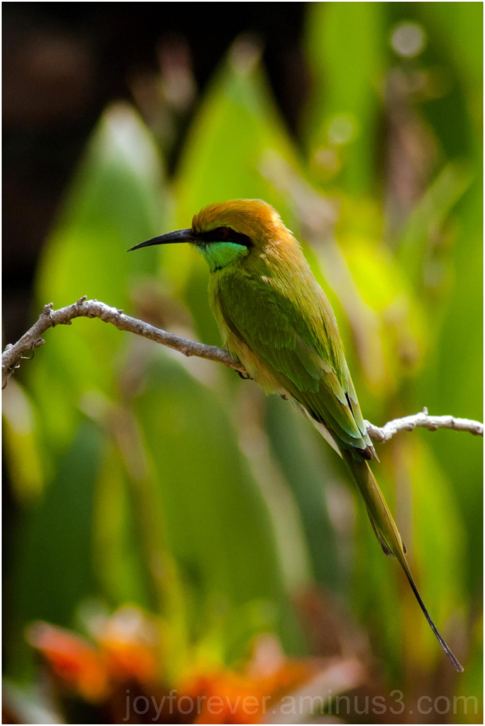 bird green Bee-eater india