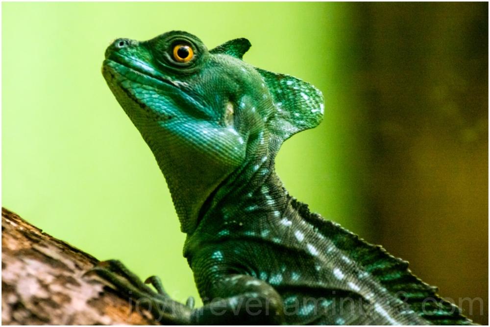 Plumed basilisk lizard reptile National zoo green