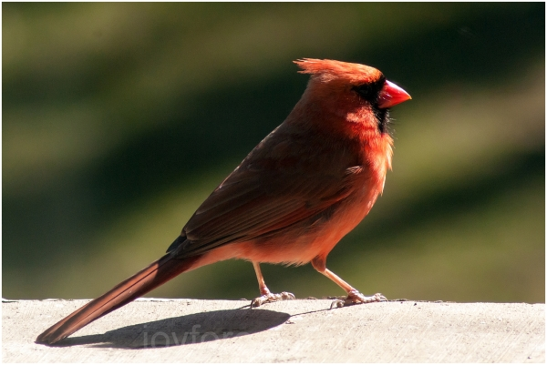 bird cardinal red balcony Falls-Church Virginia