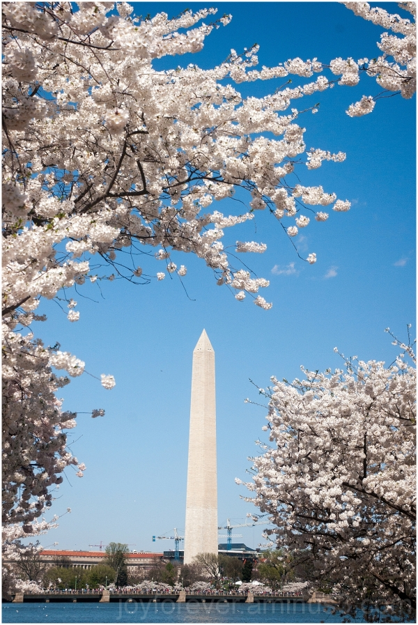 spring cherry blossoms Washington Monument DC