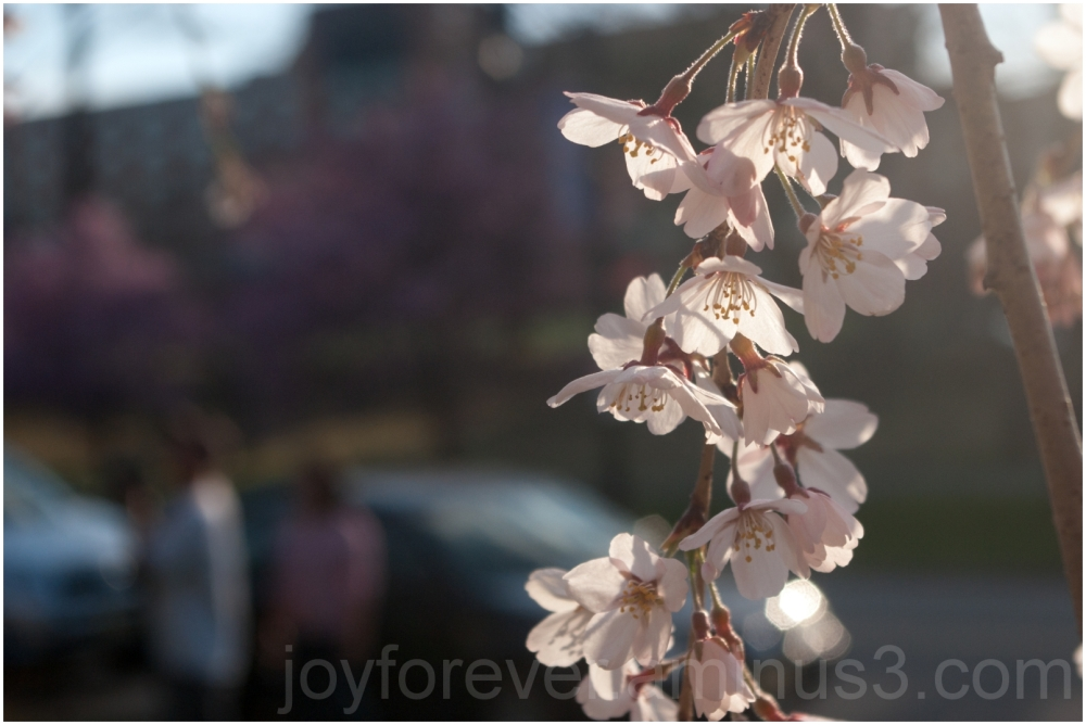 spring cherry blossoms Branch-Brook-Park Newark NJ