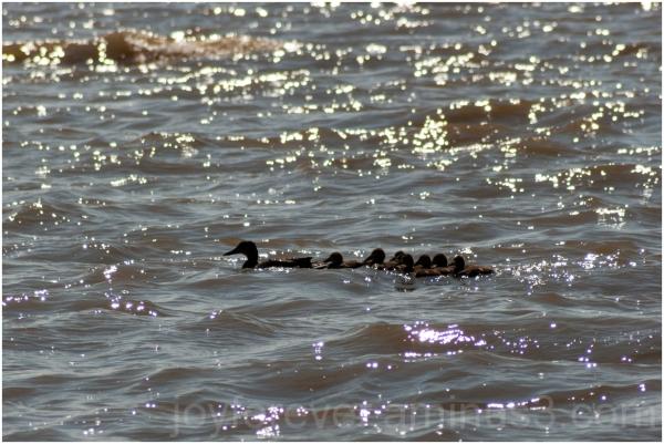 duck bird ducklings mother babies Cayuga lake NY