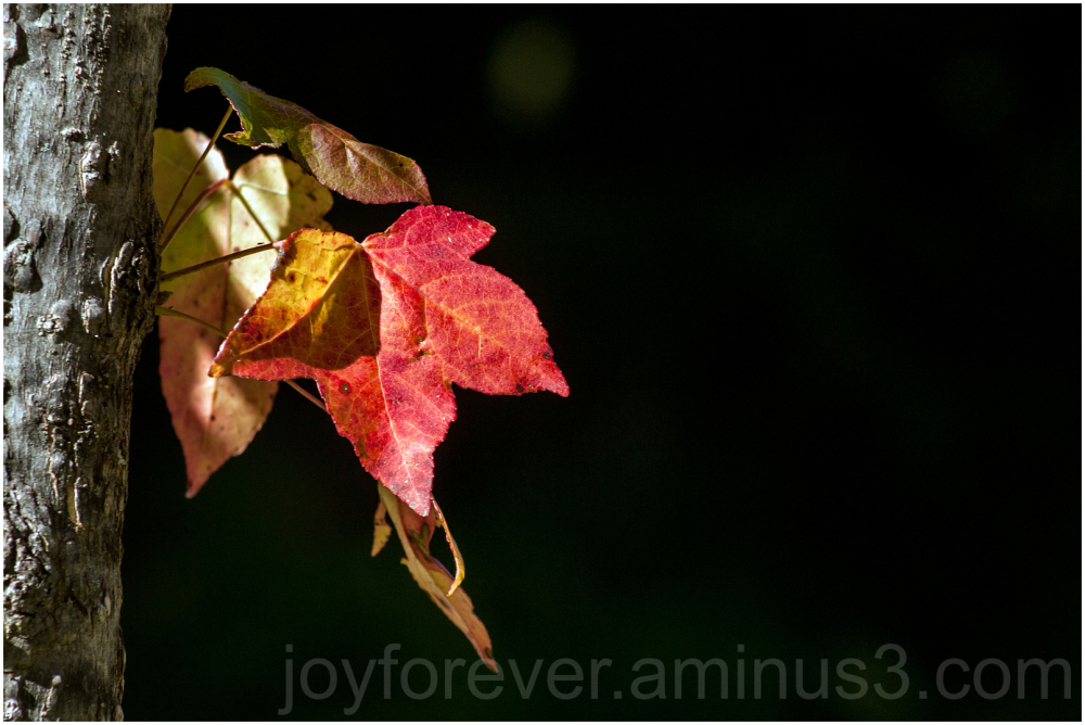 red leaf maple tree fall plant autumn foliage