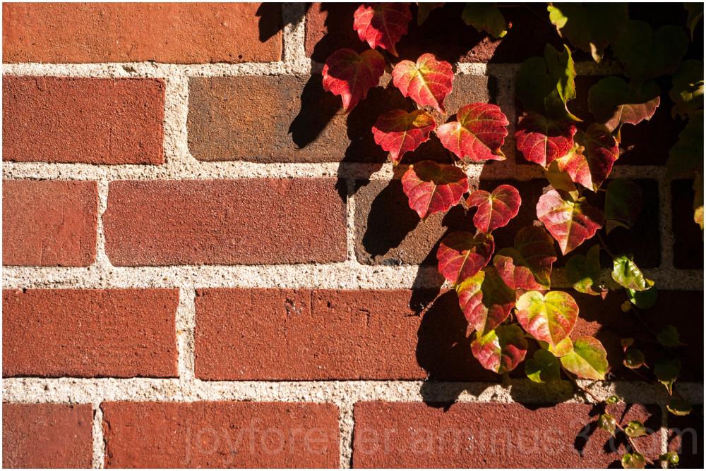 fall foliage ivy vine red leaves brick wall