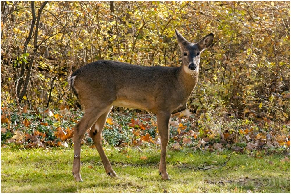 deer animal fawn garden Lake-forest wildlife