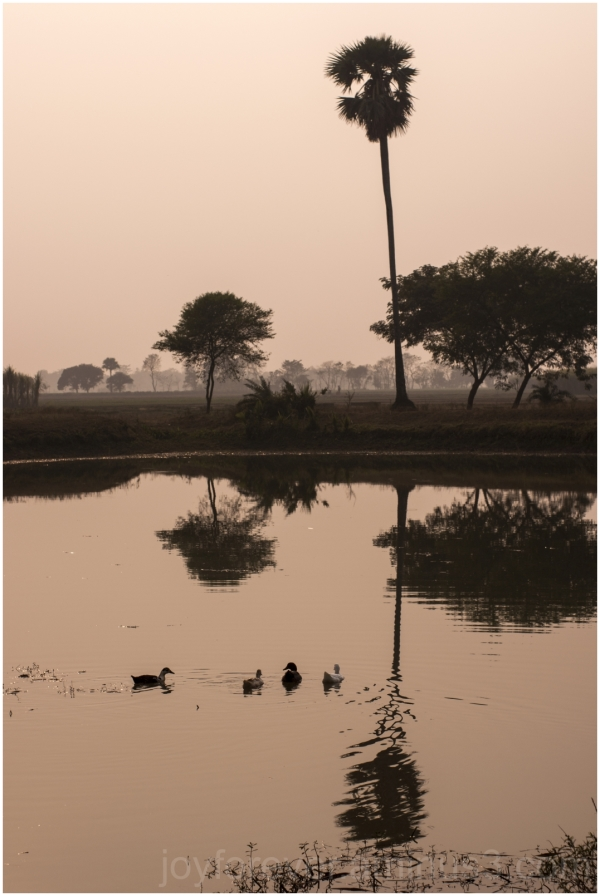 palm tree pond reflection water duck village india
