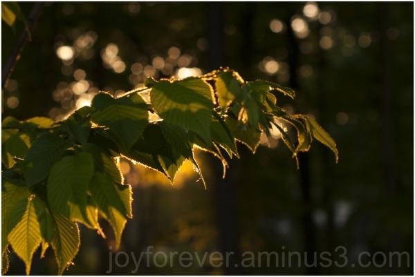 plant leaves leaf sun sunset bokeh