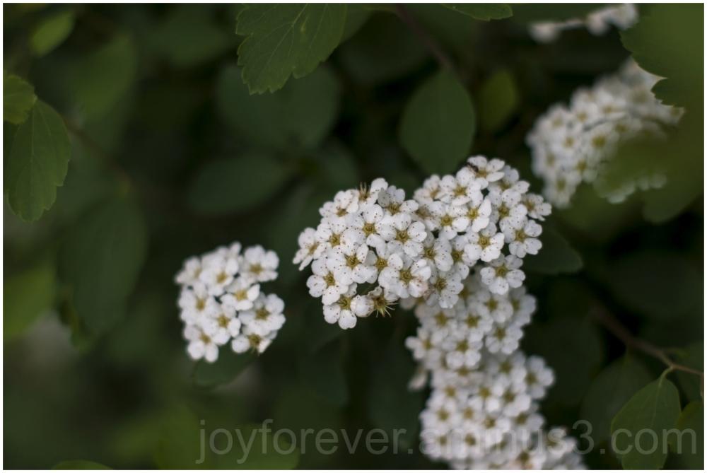 flower white spring summer plant blossoms