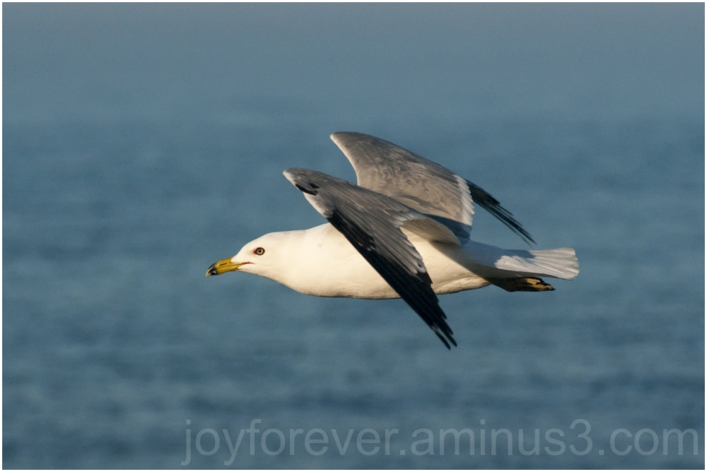 bird gull seagull flying wings flight lake
