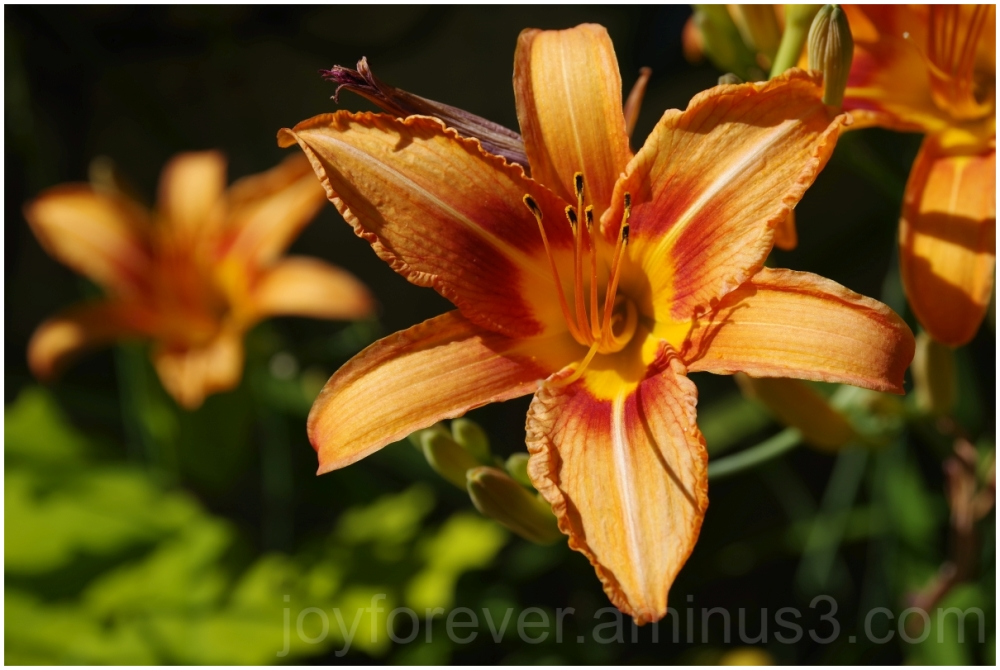flower lily saffron plant