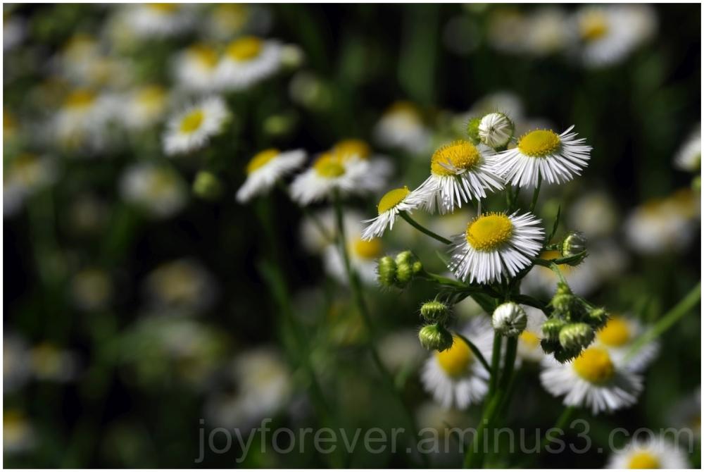flower  fleabane white erigeron wildflower