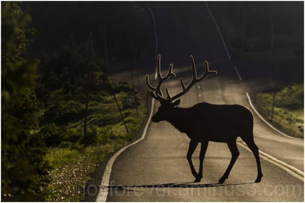 deer elk road antler animal silhouette Rockies
